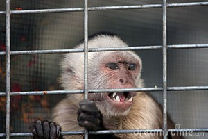 angry-capuchin-monkey-4785558