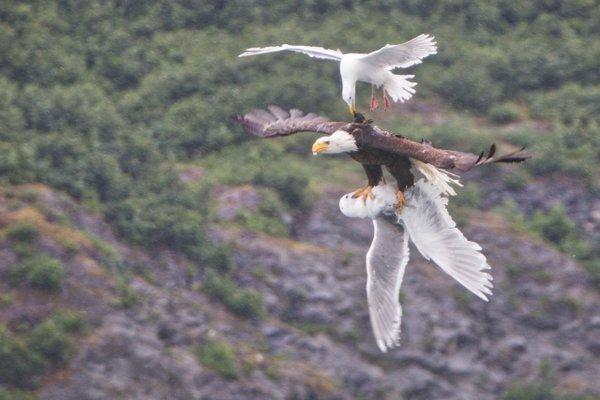 seagulls vs eagle